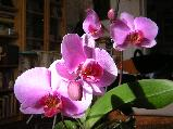 Orchidea ABC 1.